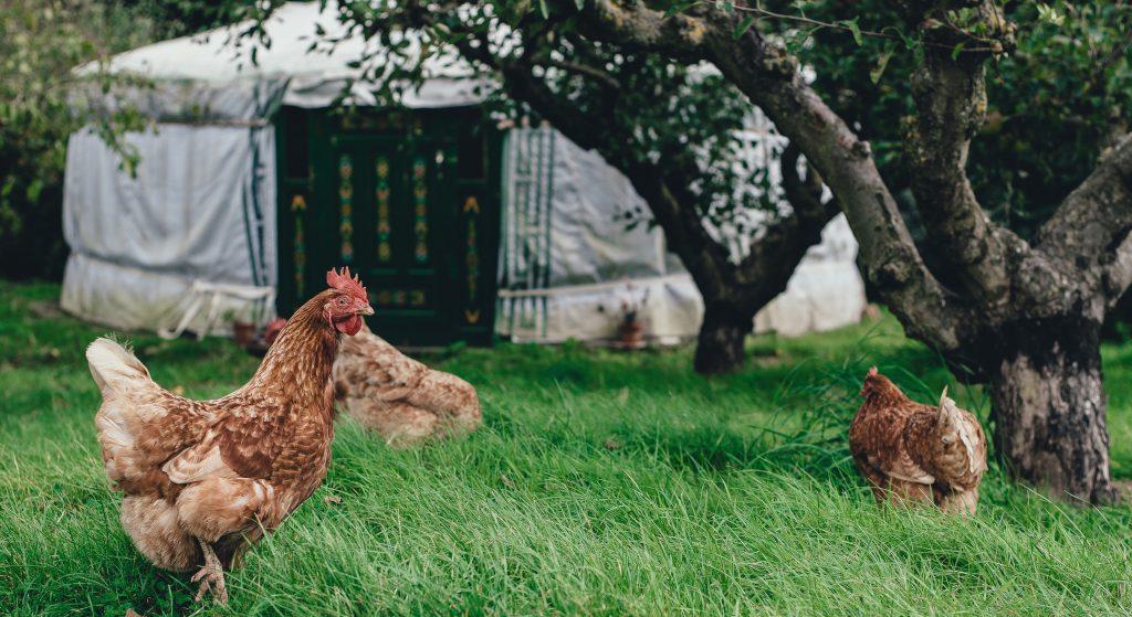 Off-grid wonen in een yurt in Nederland. Een yurt in een grasveld met fruitbomen en kippen.