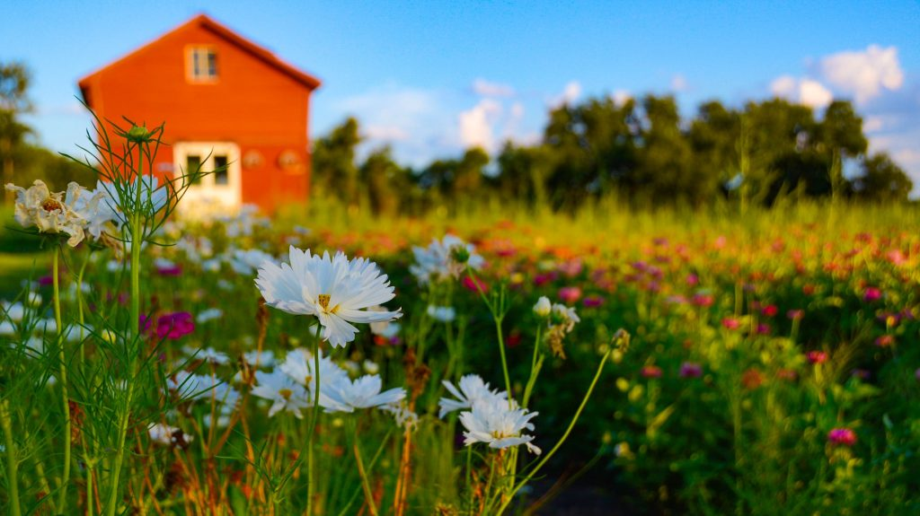 Boerderijtje in een zee van bloemen tegen een blauwe lucht